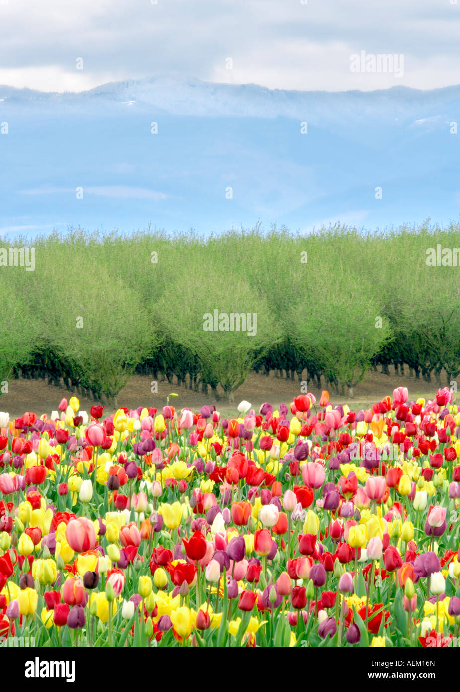 Tulipes mixtes et verger au printemps Woodburn Oregon Photo Stock
