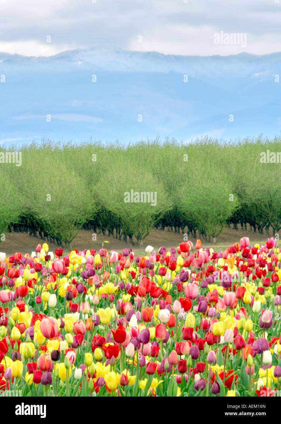 Tulipes mixtes et verger au printemps Woodburn Oregon Photo Stock