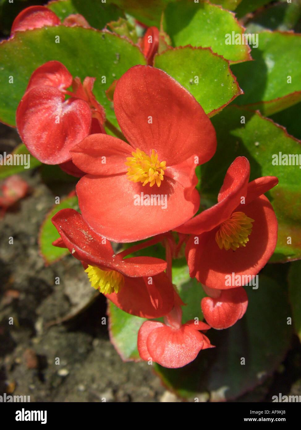 50 graines Begonia Semperflorens - blanc Bégonia-Cire
