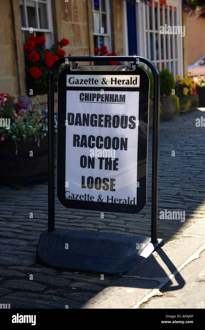 Le raton laveur sur le lâche, gros titre de journal dans la ville de Corsham, England, UK Photo Stock