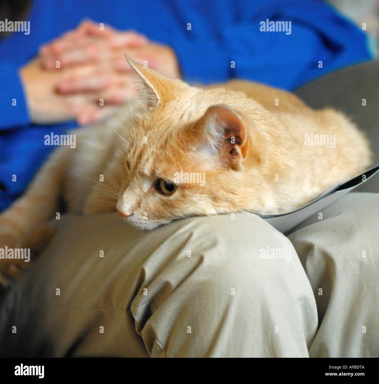 Chat posant sur une personnes lap Photo Stock