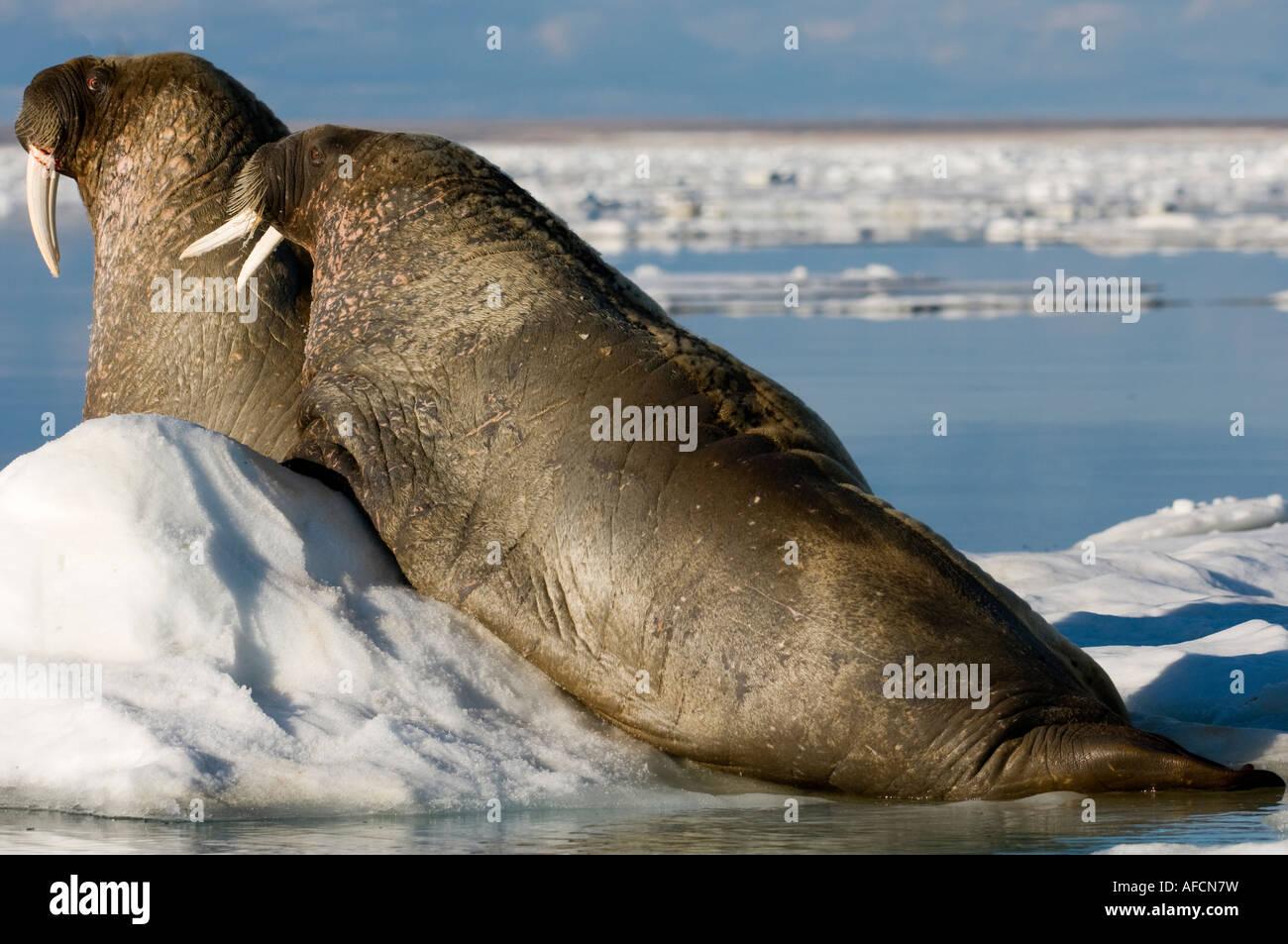 Deux Les morses mâles sortis de l'eau et de repos sur la banquise l animal vide de la peau rose lorsqu'il Photo Stock