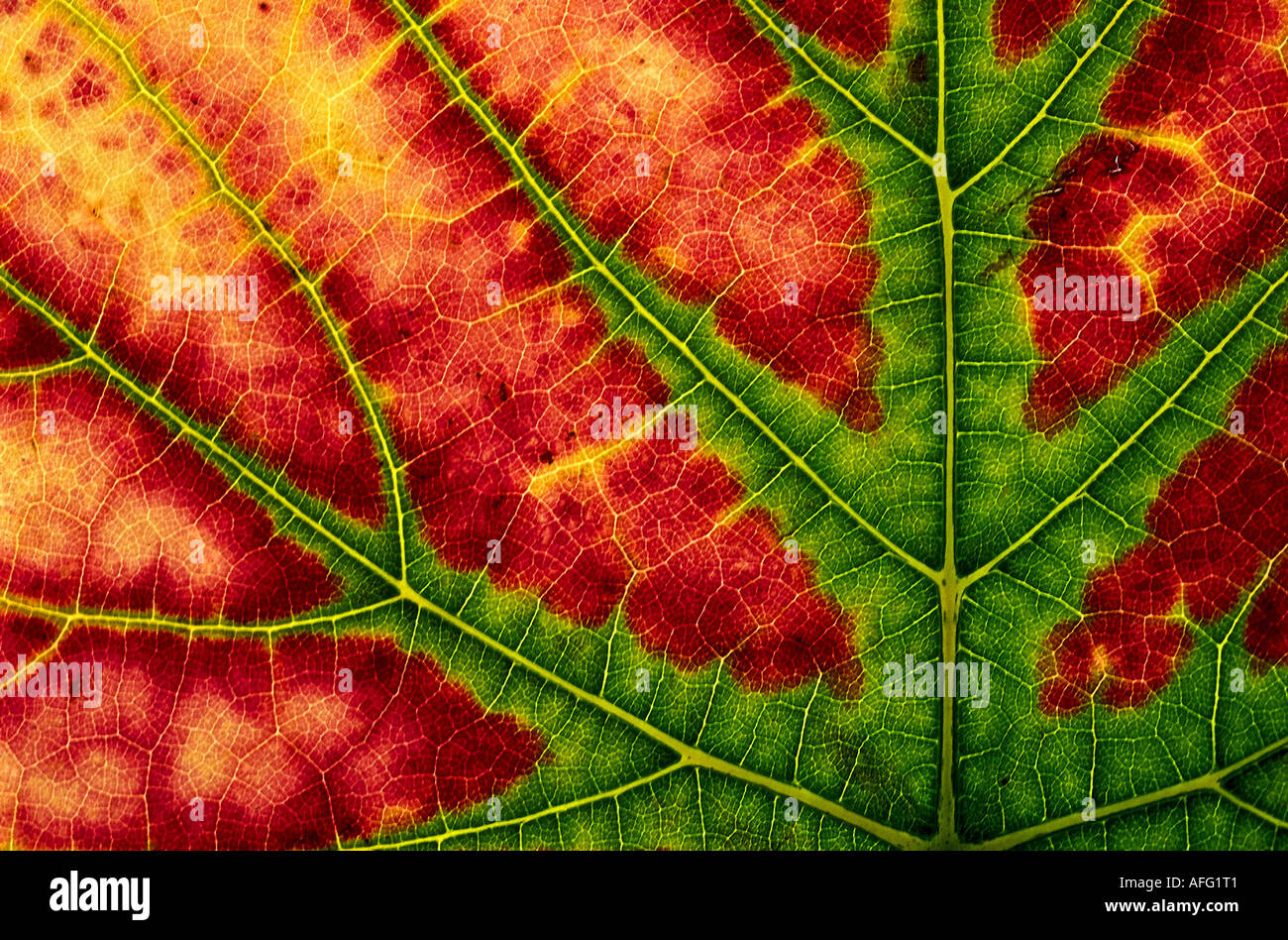 Weinblatt Herbstfaerbung Photo Stock