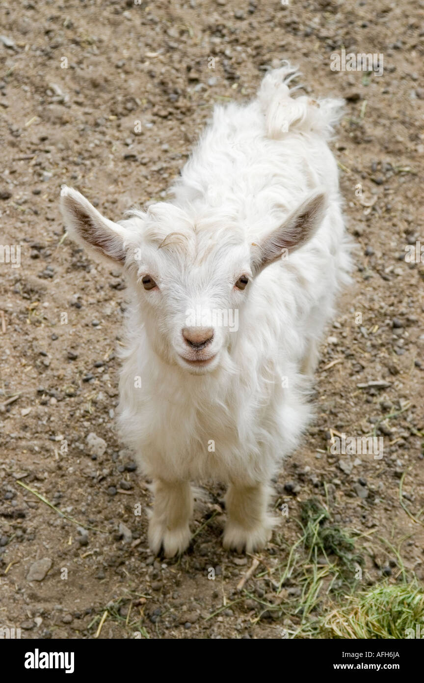 available best selling popular brand Les jeunes- pashmina cachemire ou chèvre, le Ladakh, le ...