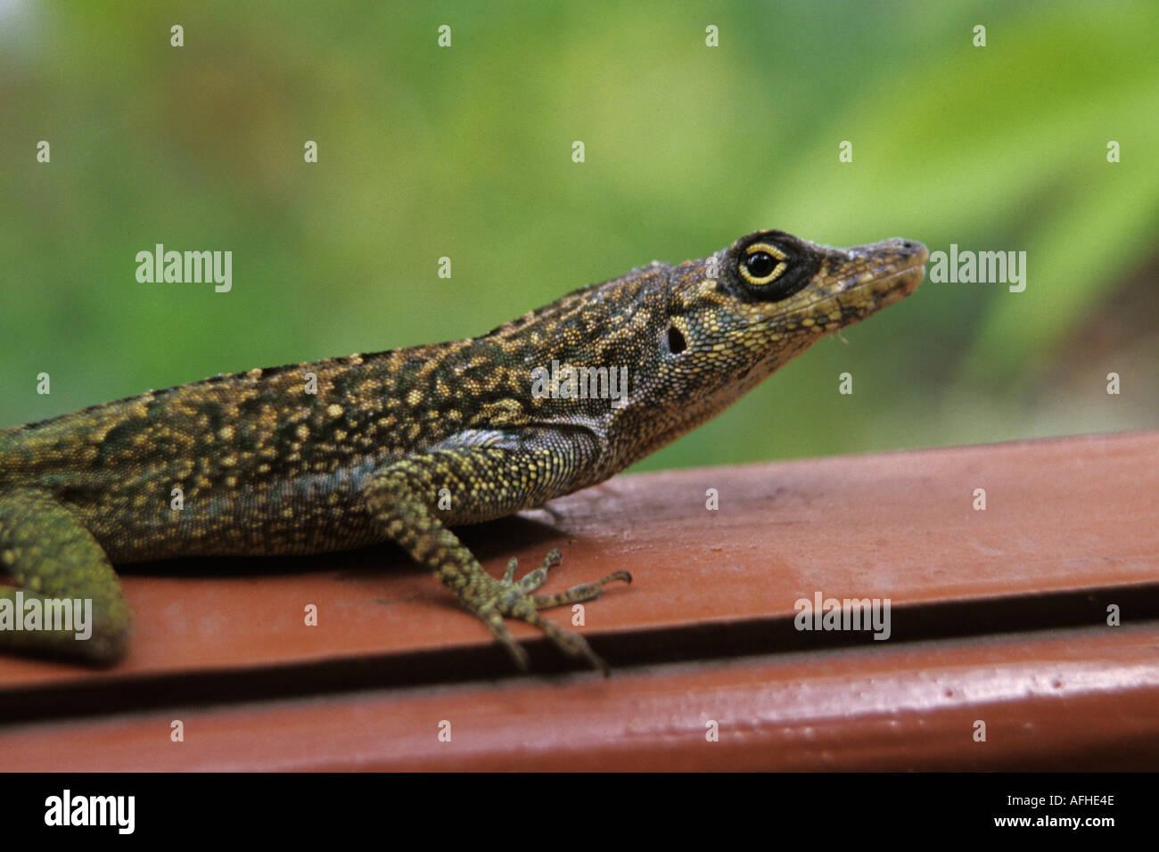 Martinique, Gecko Banque D'Images