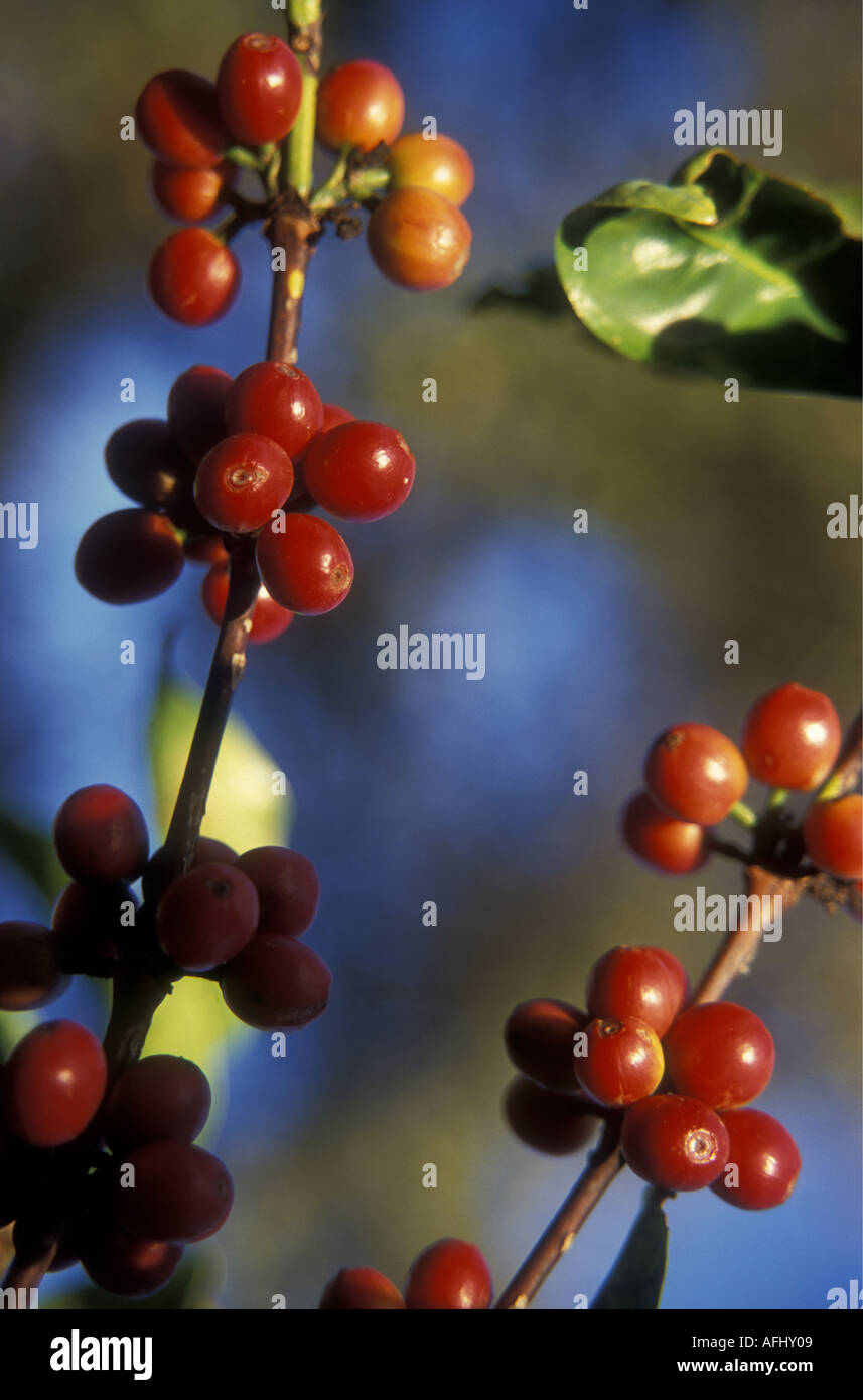 Baies de café robusta rouge mûr près d'Arusha Tanzanie du Nord Afrique de l'Est Photo Stock