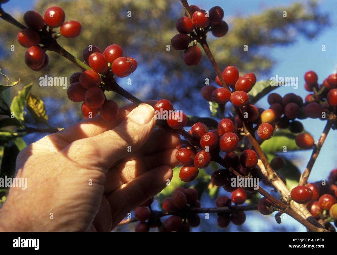 La main de l'homme blanc près de baies de café robusta rouge mûr près d'Arusha Tanzanie du Nord Afrique de l'Est Photo Stock