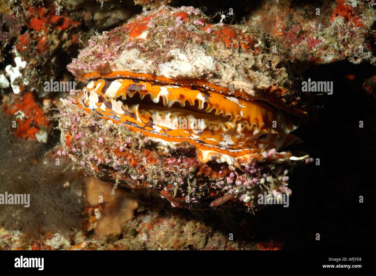 Texture rugueuse huître épineuse Variable (Spondylus varians) Photo Stock