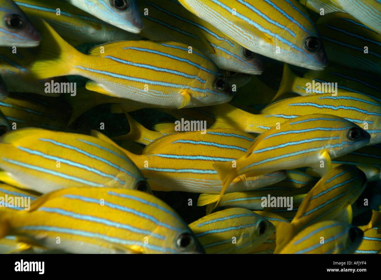 De l'école blue stripe snapper (Lutjanus kasmira), Ari Atoll, Maldives. Banque D'Images