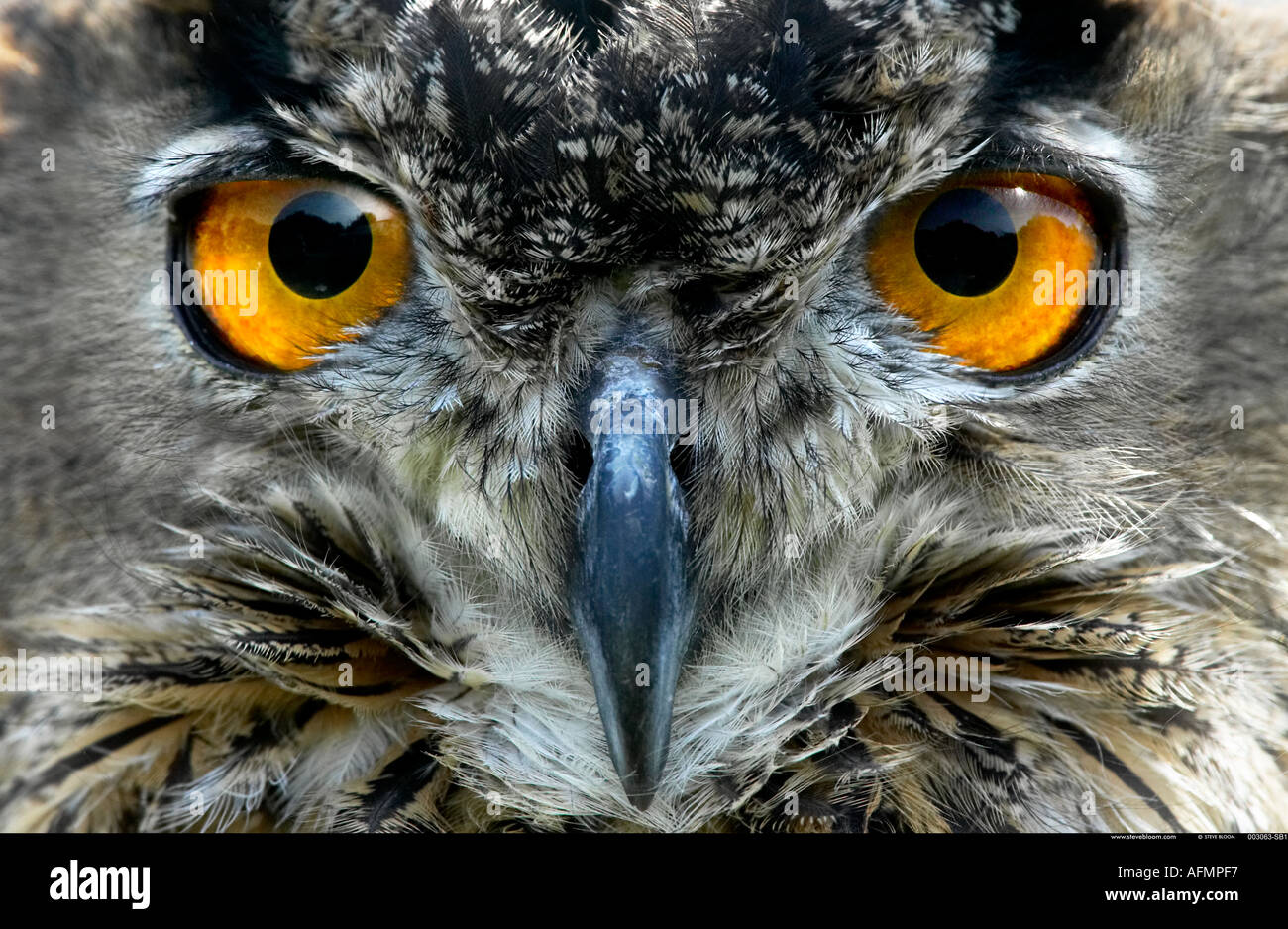 Eagle Owl Europe Photo Stock