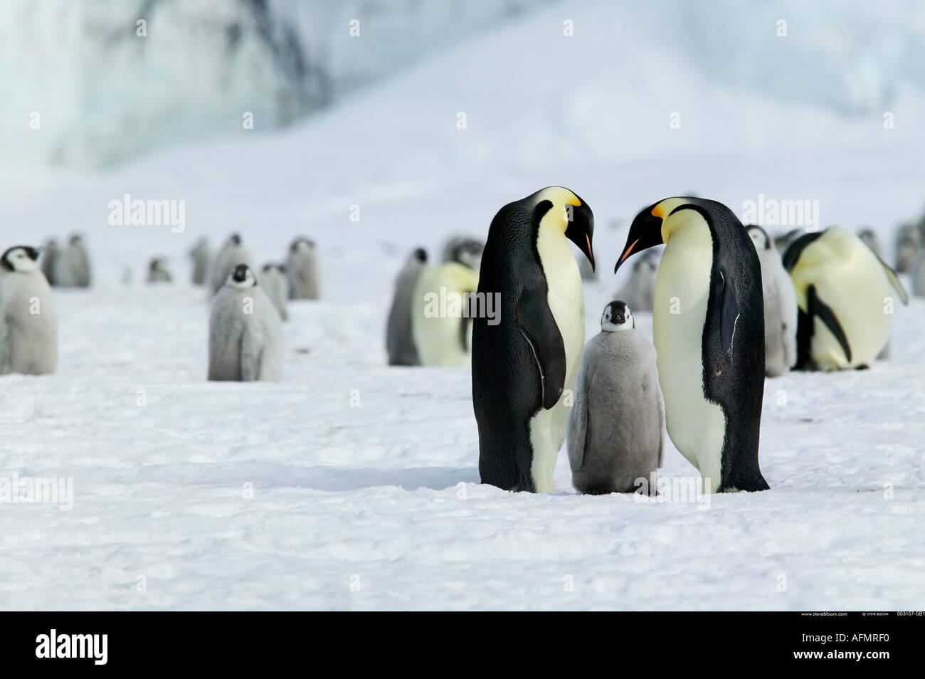 Retour des jeunes parents de manchot empereur de l'Antarctique l'Île Coulman Photo Stock