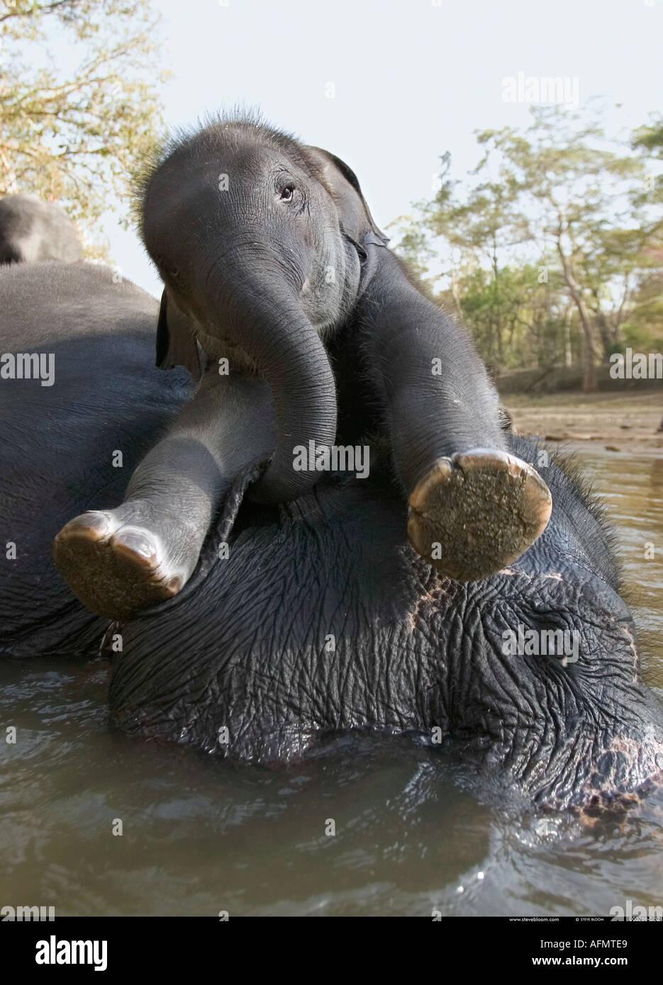 Mère et son petit se reposant dans la rivière Kanha en Inde Photo Stock