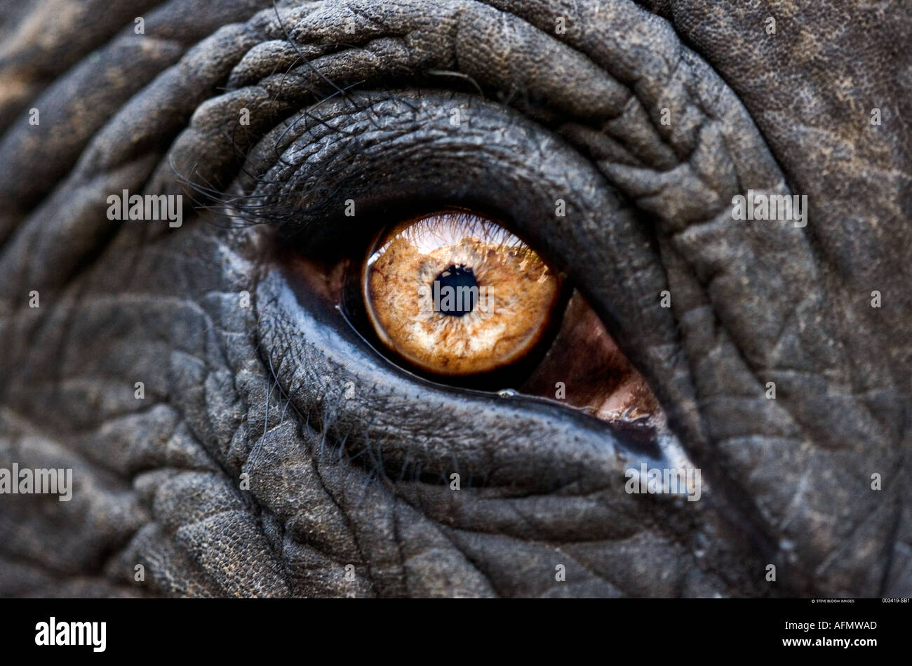 Close up de l'oeil d'un éléphant indien Jaipur en Inde Photo Stock