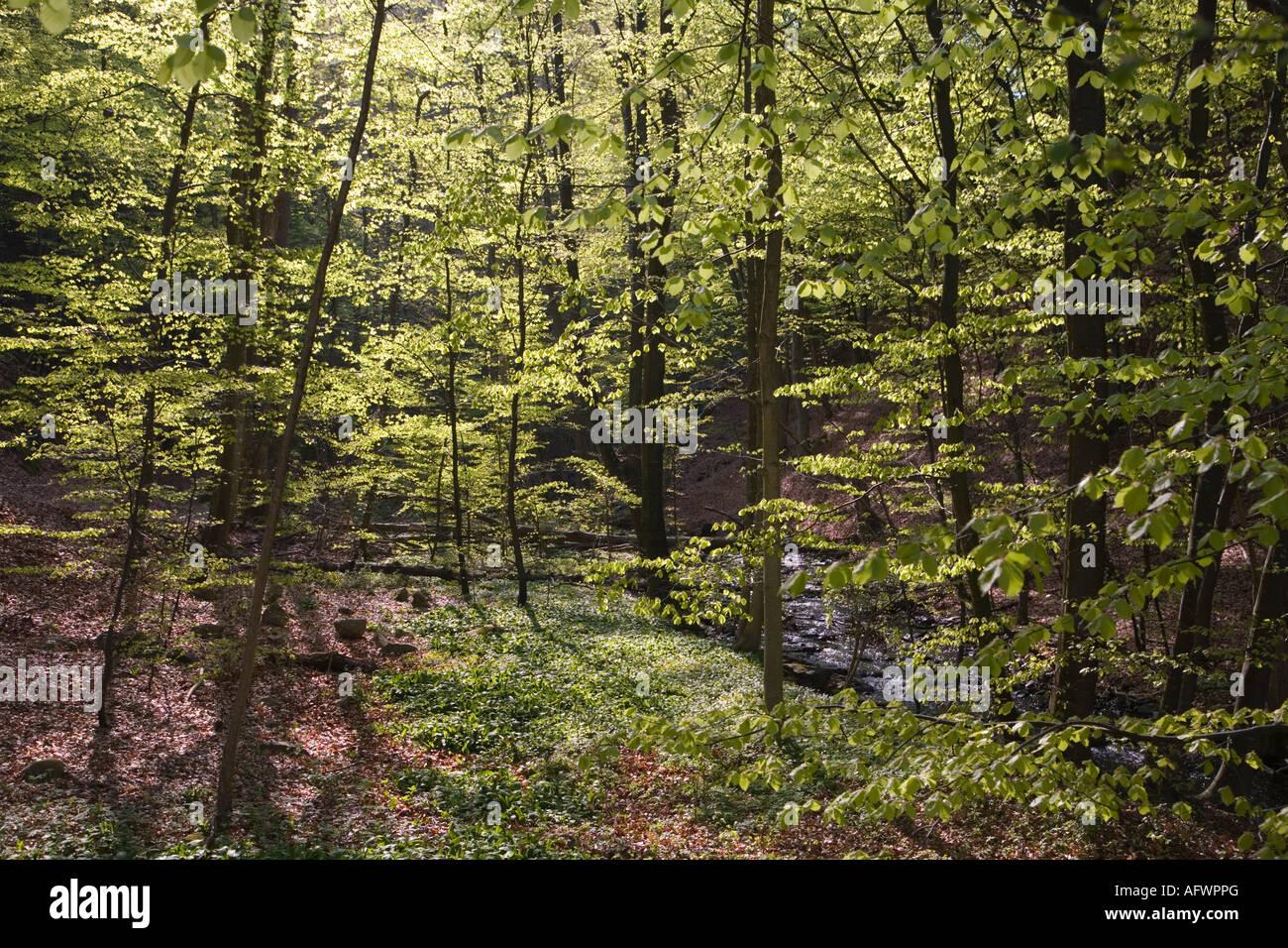 Scania Suède forêt de hêtres au printemps Mai 2006 Banque D'Images