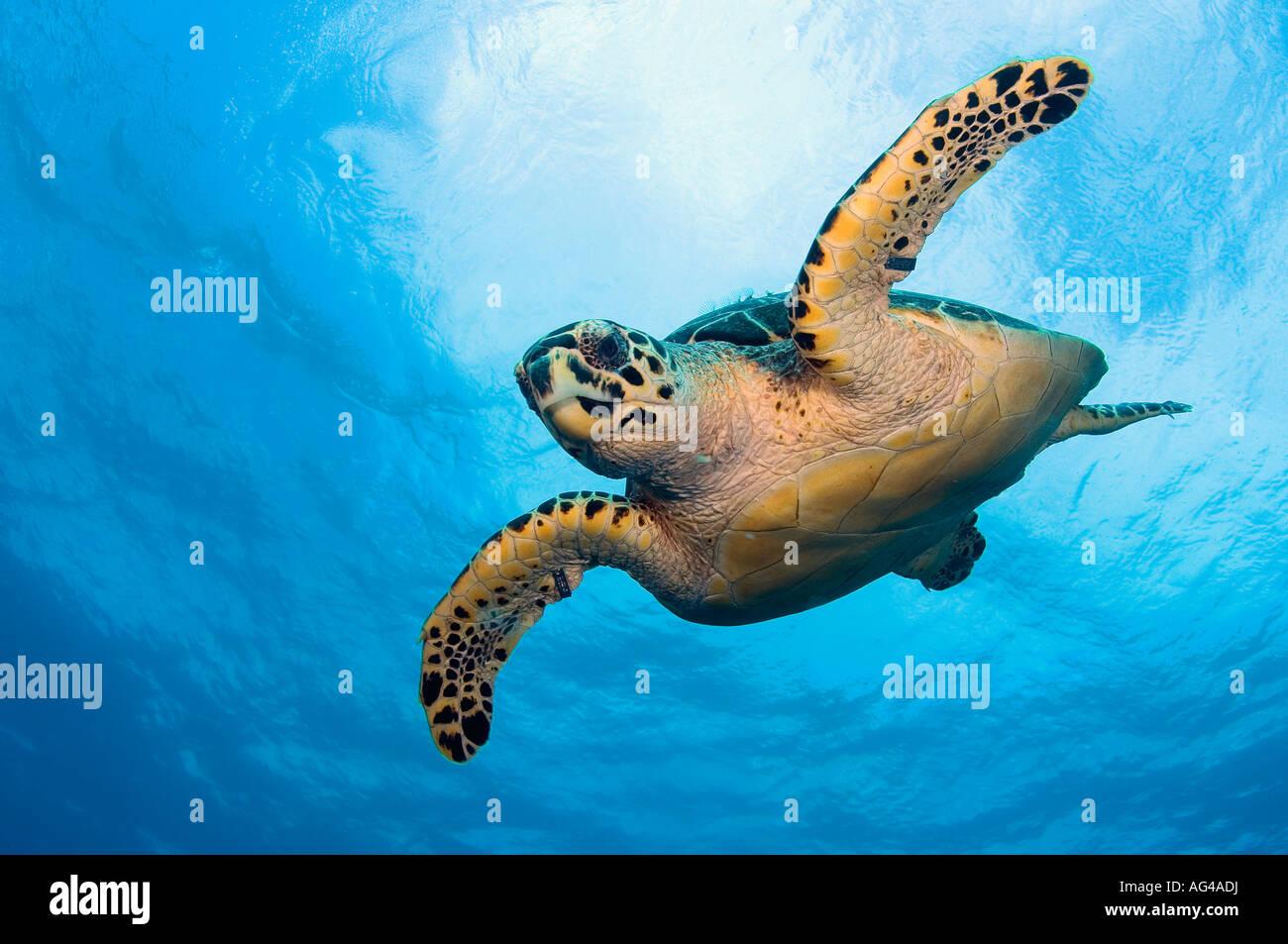 Une espèce en voie d'Hawksbill Sea Turtle (Eretmochelys imbricata) à Palm Beach, FL. Banque D'Images