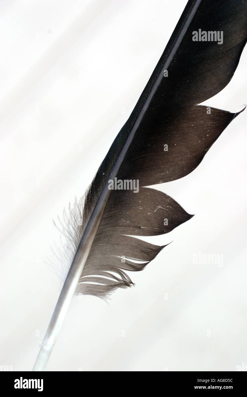 Une plume d'oiseau noir sur fond blanc Photo Stock