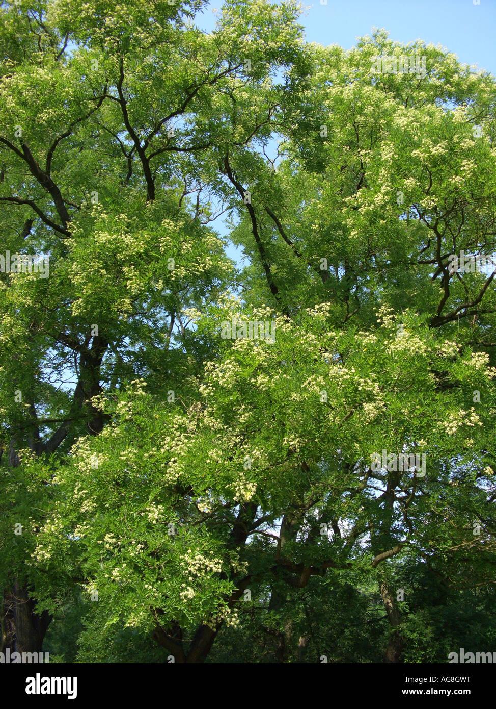 arbre pagode japonaise (sophora japonica), blooming banque d'images