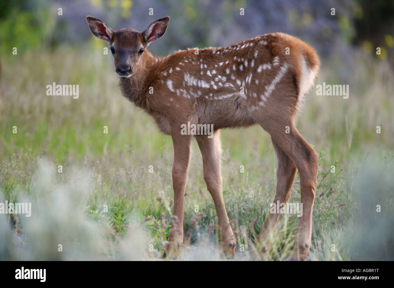 Bébé wapiti dans le Parc National de Yellowstone au Wyoming Photo Stock