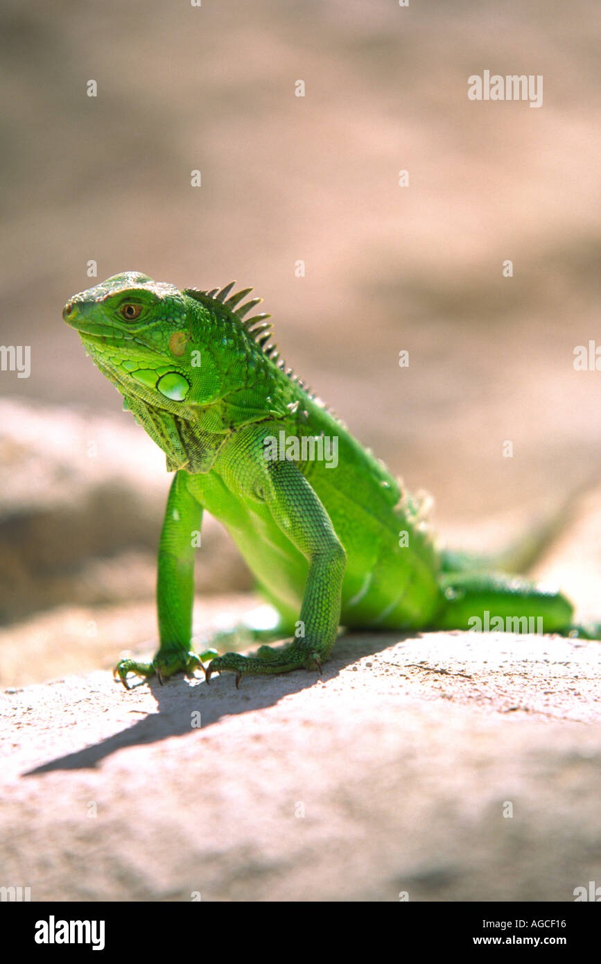 Un iguane vert, posant pour une photographie dans la magnifique île d'Aruba Banque D'Images