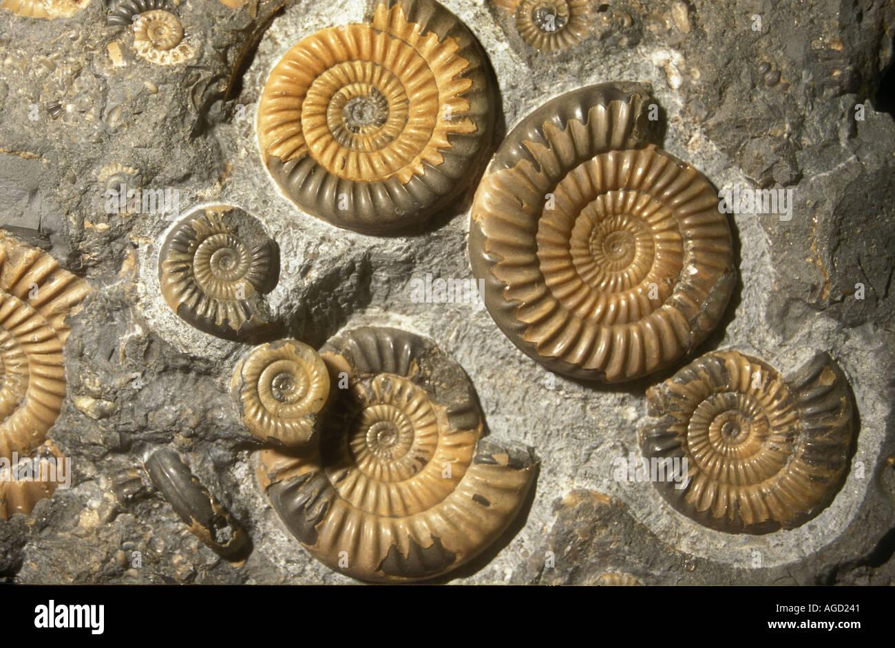 Promicroceras planicosta fossiles d'ammonites Jurassique précoce Angleterre 188 à 184 millions d'années Banque D'Images