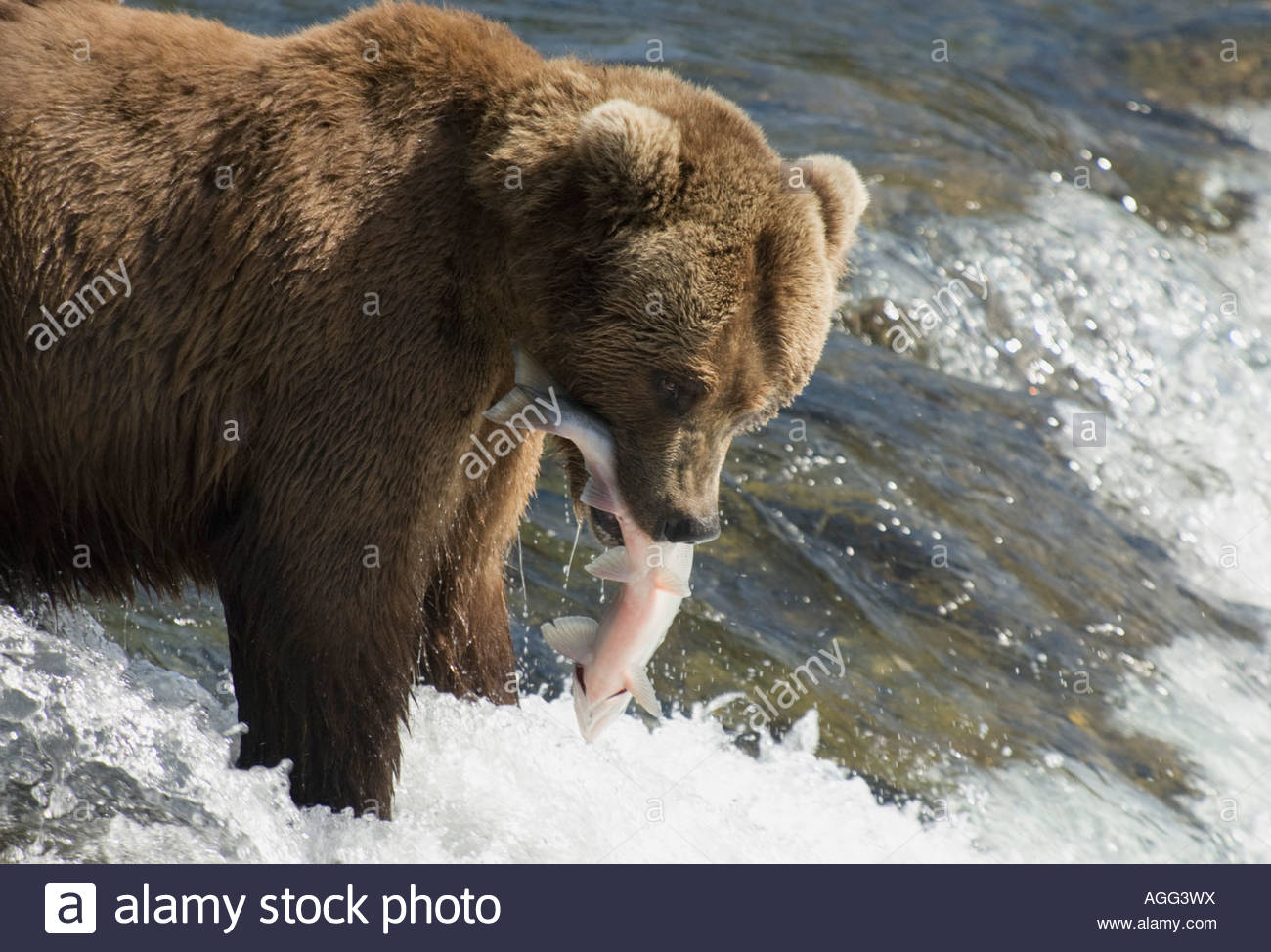 Le Grizzli de l'Alaska avec un saumon dans sa bouche, Brooks River, Katmai National Park, Alaska, USA Photo Stock