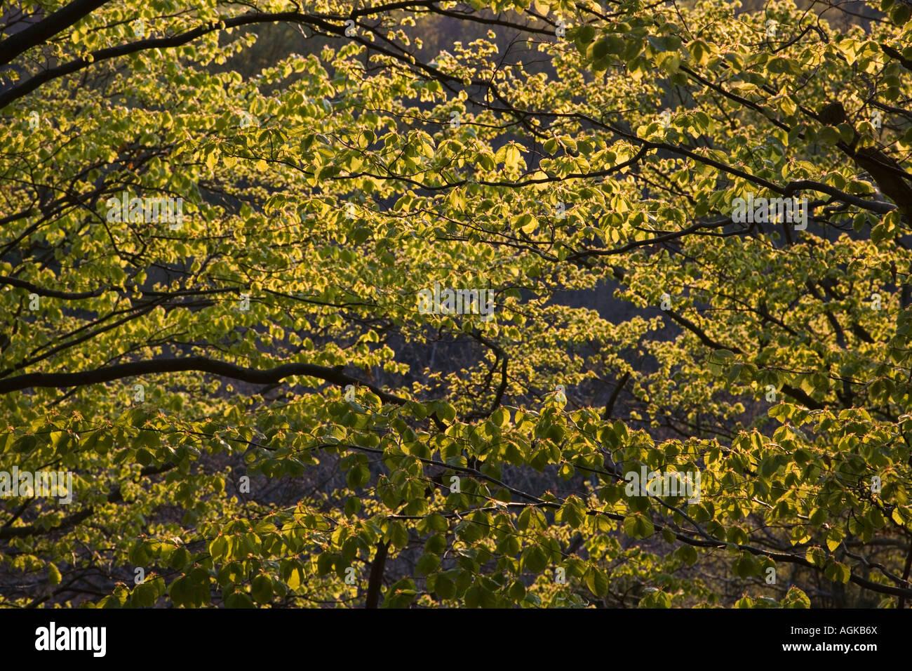Le parc national de Stenshuvud Suède forêt de hêtres au printemps Mai 2007 Banque D'Images