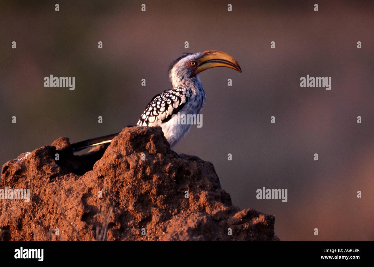 Calao à bec jaune du Sud, nom scientifique; Tockus flavirostris, dans la réserve naturelle de Timbavati, Photo Stock
