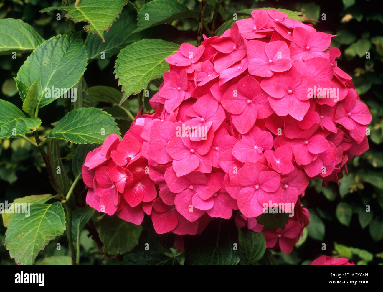 L'Hydrangea macrophylla Ami Pasquier Photo Stock