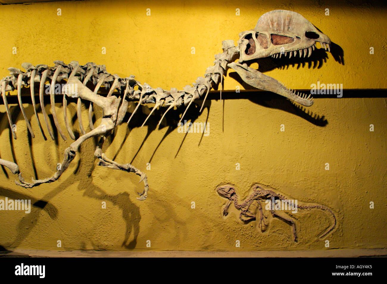 Structure du squelette d'Dilophsaurus Heterodontisaurus et dinosaures-Royal Tyrrell Museum, Drumheller, Alberta, Canada. Photo Stock