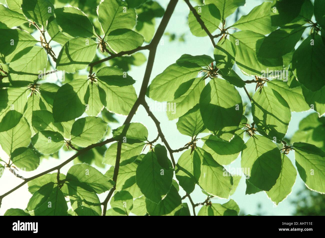 Feuilles de hêtre dans l'effeuillage de printemps Grande-bretagne Photo Stock