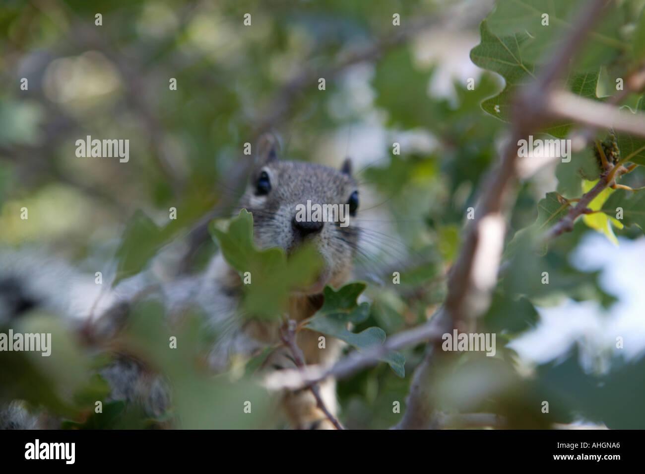 Écureuil d'Abert avec un gland dans un chêne gambel au bord du Grand Canyon South Rim usa Photo Stock