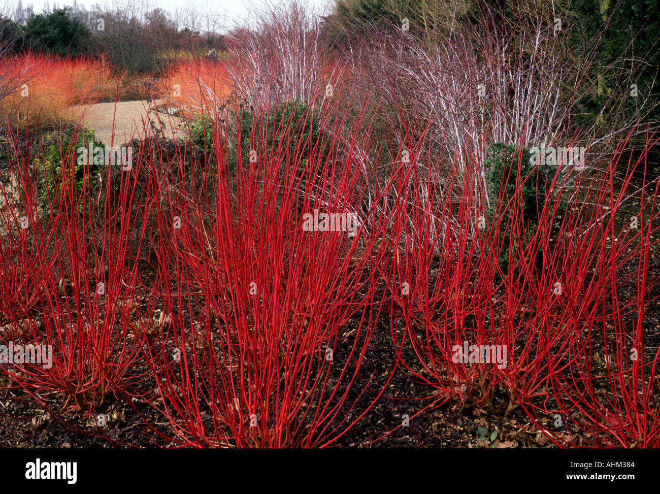 Cornus alba Sibirica Cornus alba AGA Rubus Westonbirt scarley rouge ...