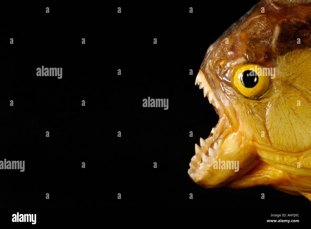Piranha avec bouche ouverte montrant les dents contre l'arrière-plan noir Photo Stock