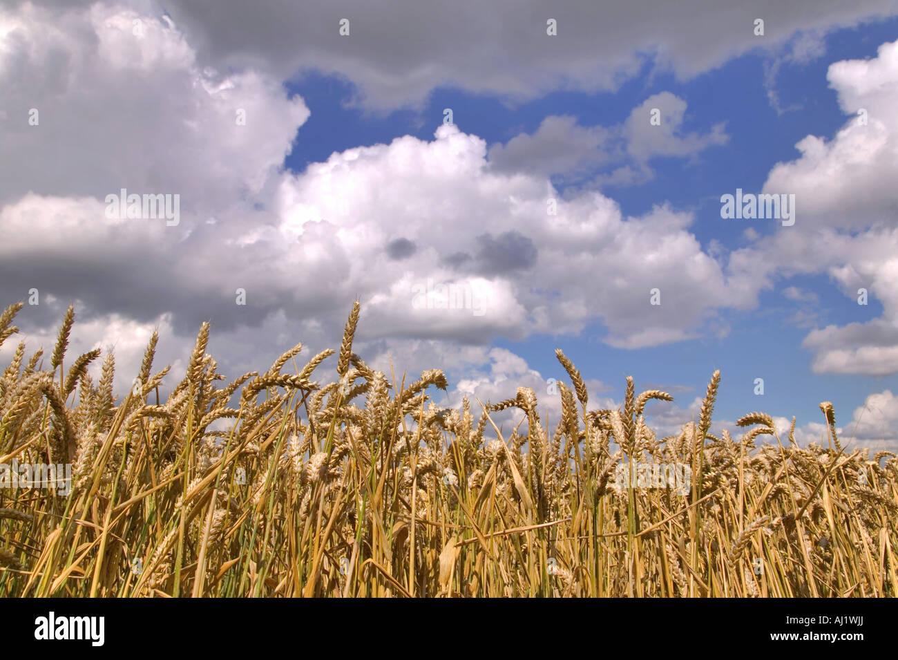 Champ de blé sous un ciel nuageux bleu Photo Stock