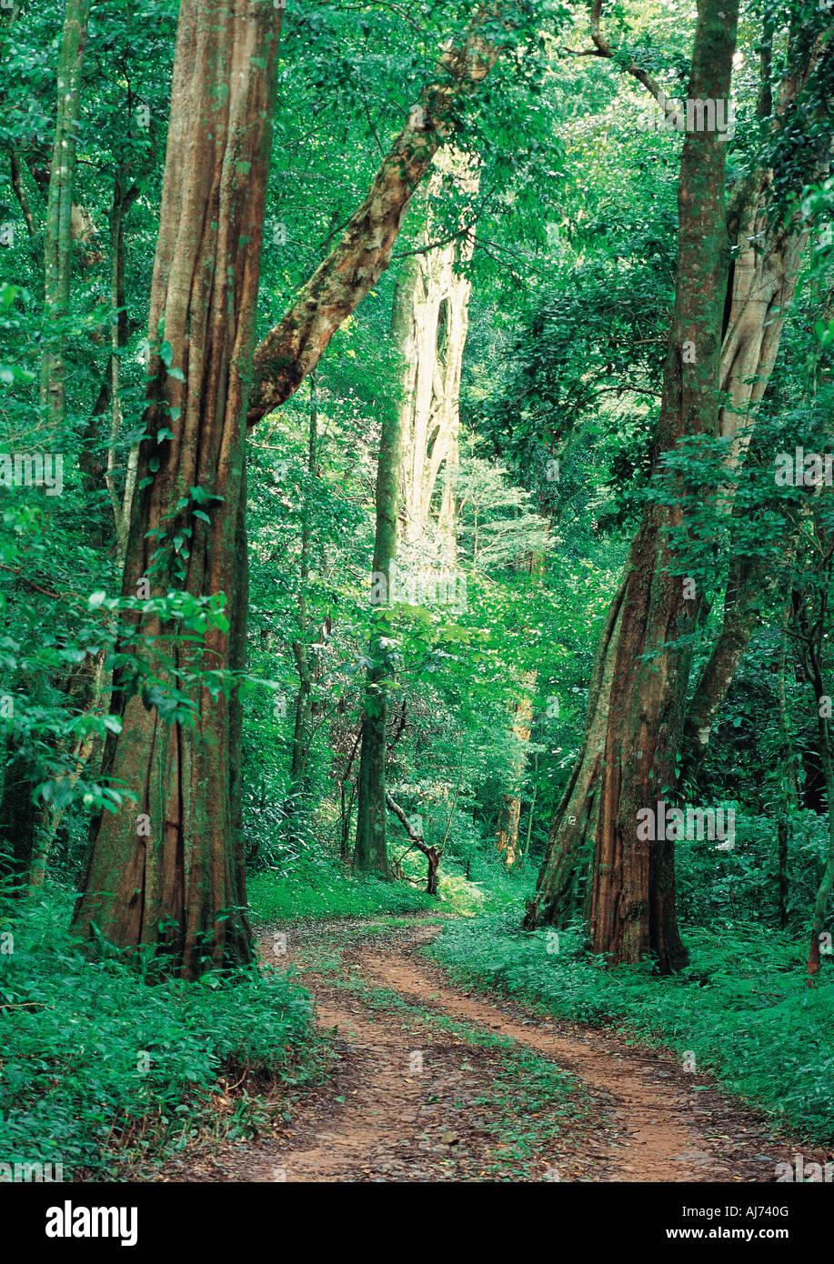 Une piste à travers la magnifique forêt Chirinda avec plus grands arbres au Zimbabwe Photo Stock