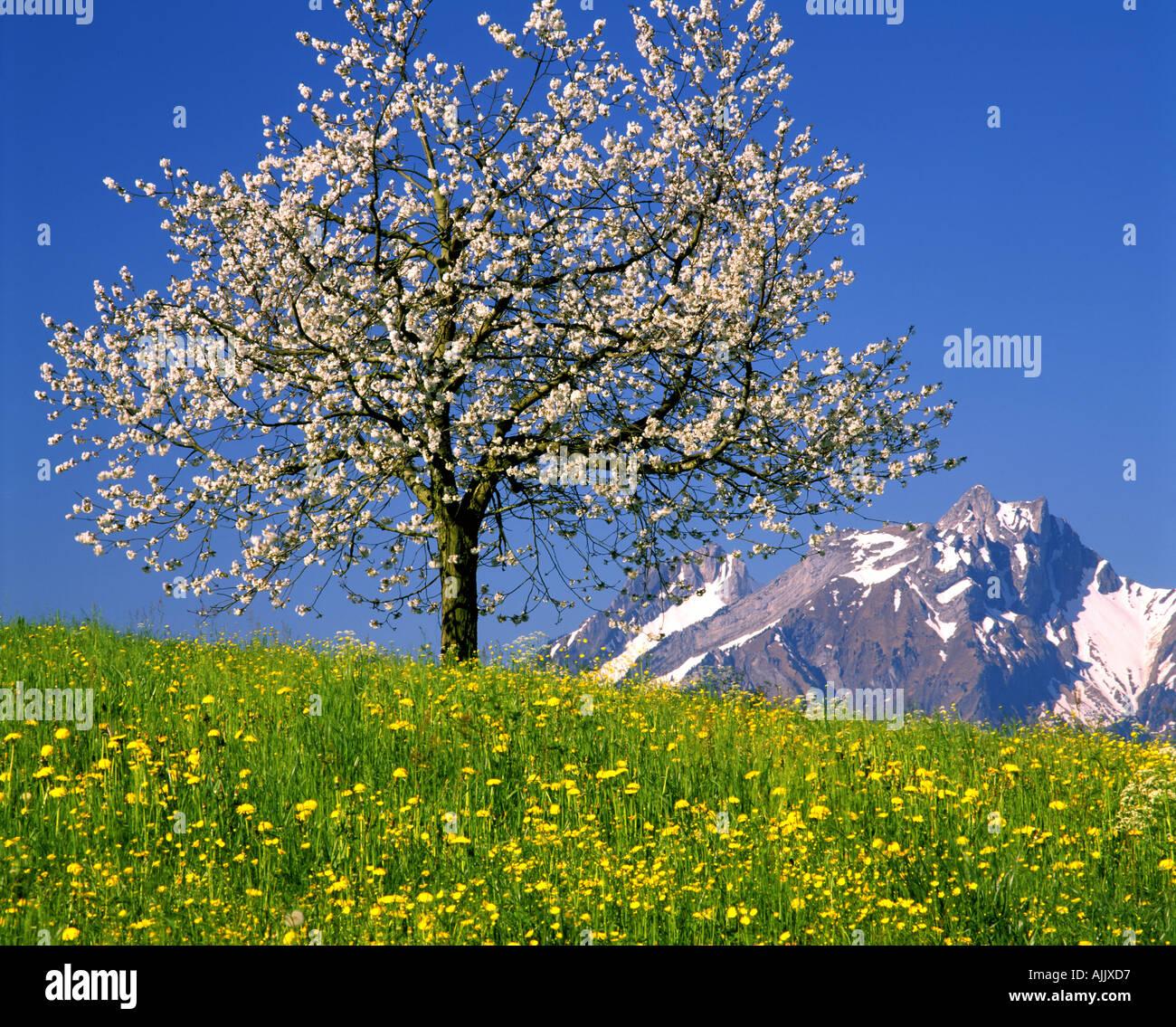 CH - LUCERNE: Fleurs de cerisier et de montagne Pilatus Photo Stock