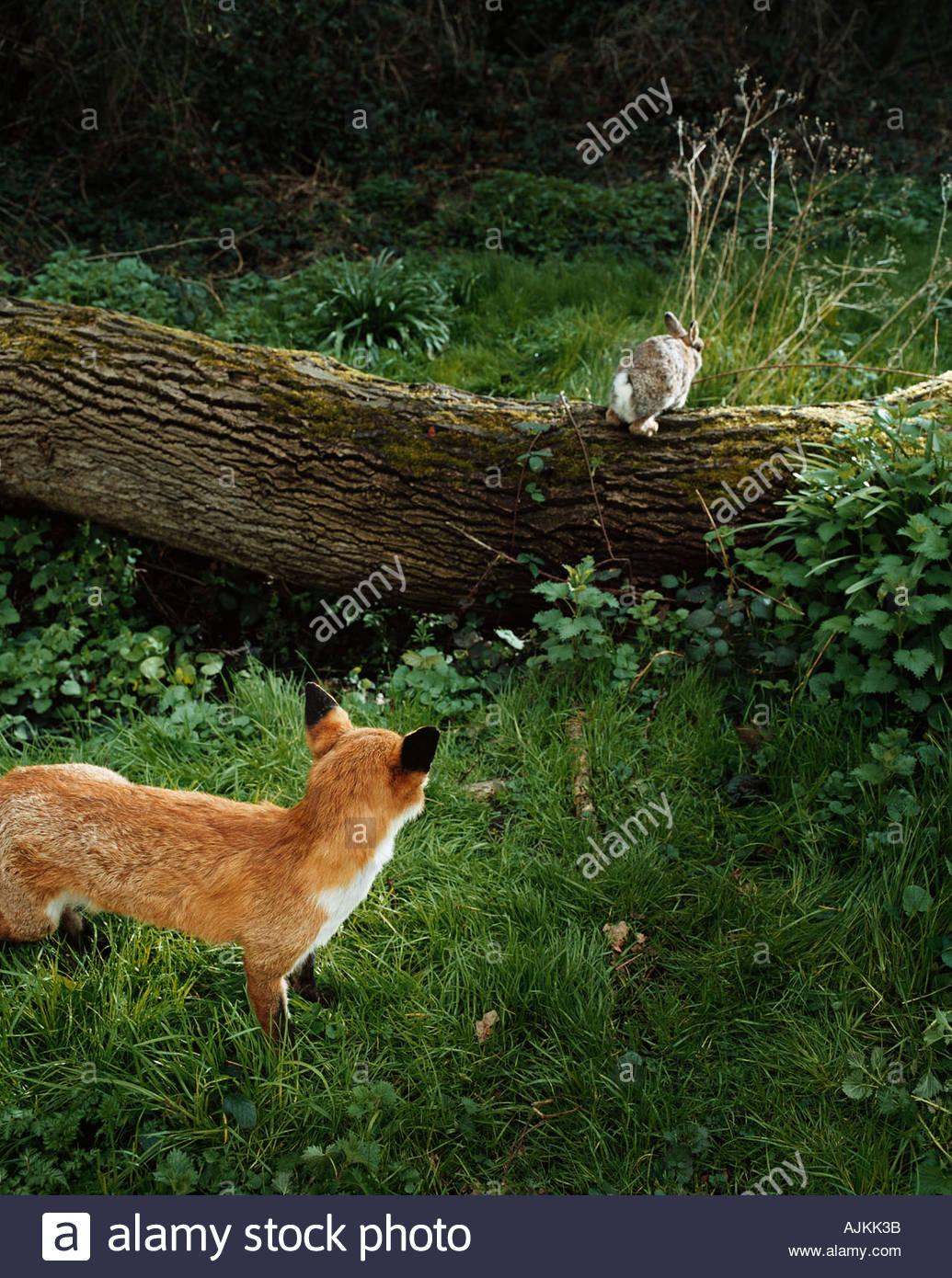 Fox à la suite d'un lapin dans la forêt Photo Stock