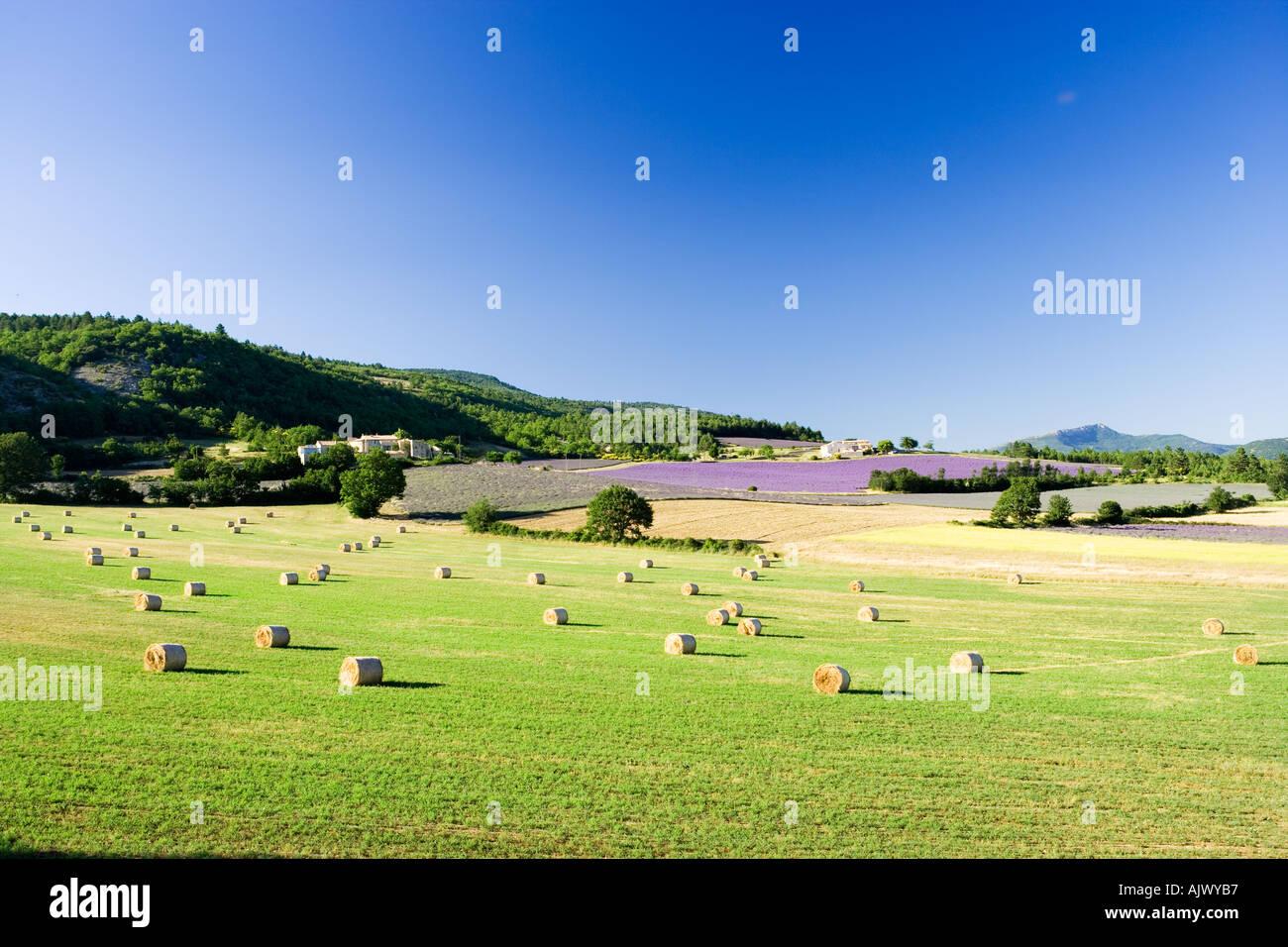 France Provence Vaucluse Région Rural scene avec champs de lavande Photo Stock