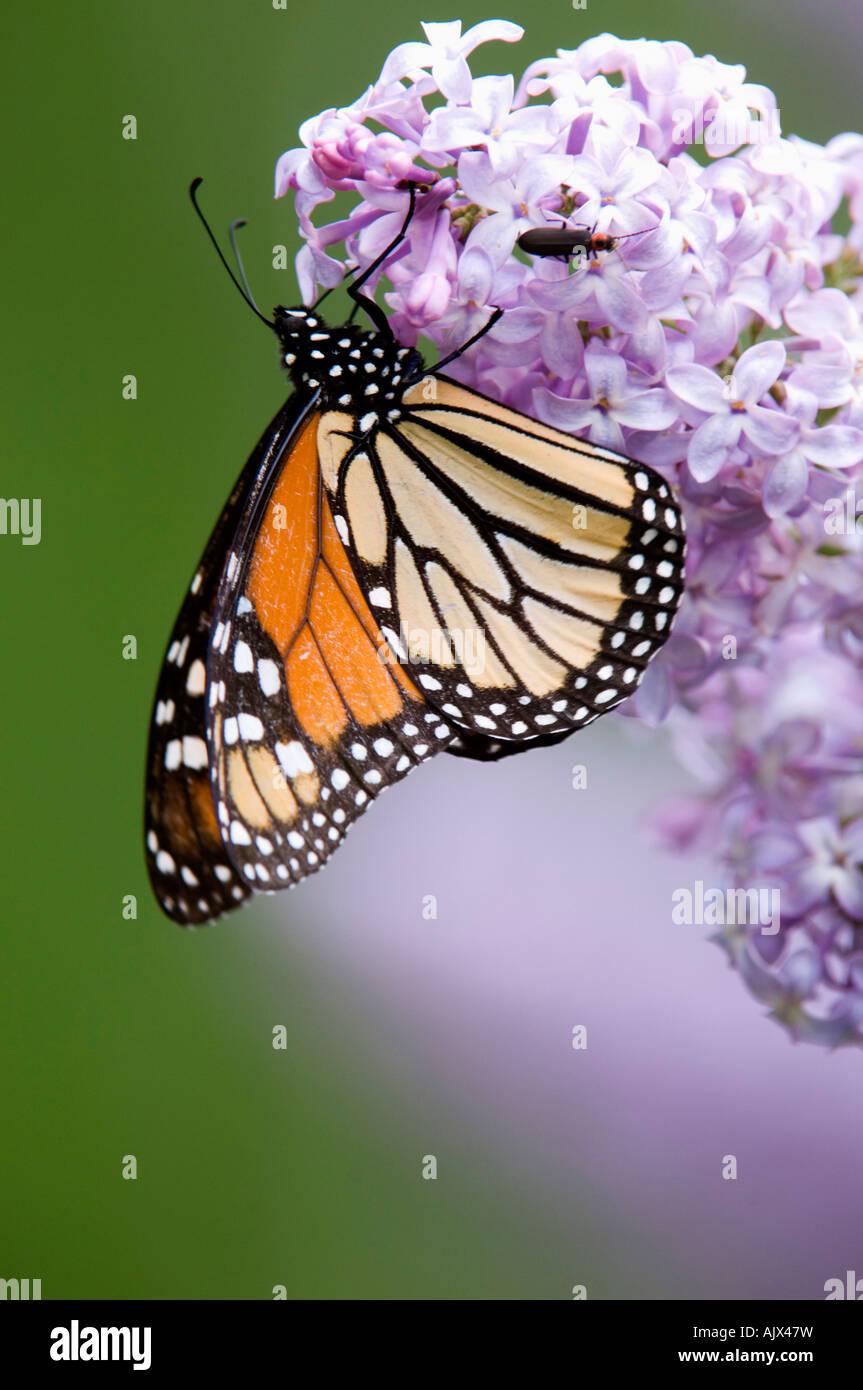 Le monarque (Danaus plexippus) nectar de fleurs lilas adultes en Ontario Banque D'Images