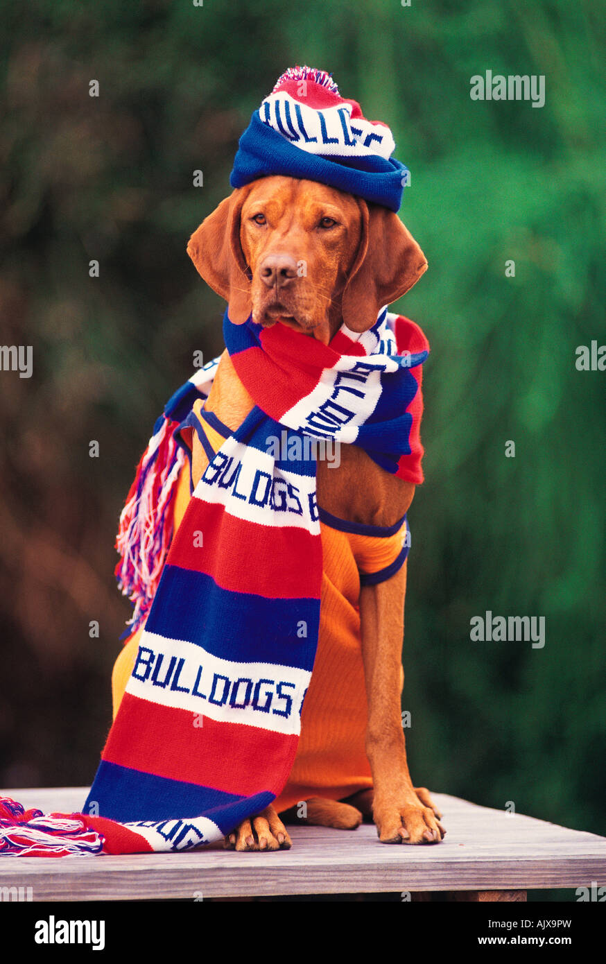 Animal chien Visla hongrois habillé en vêtements de l'équipe de football de supports. Concept Photo Stock