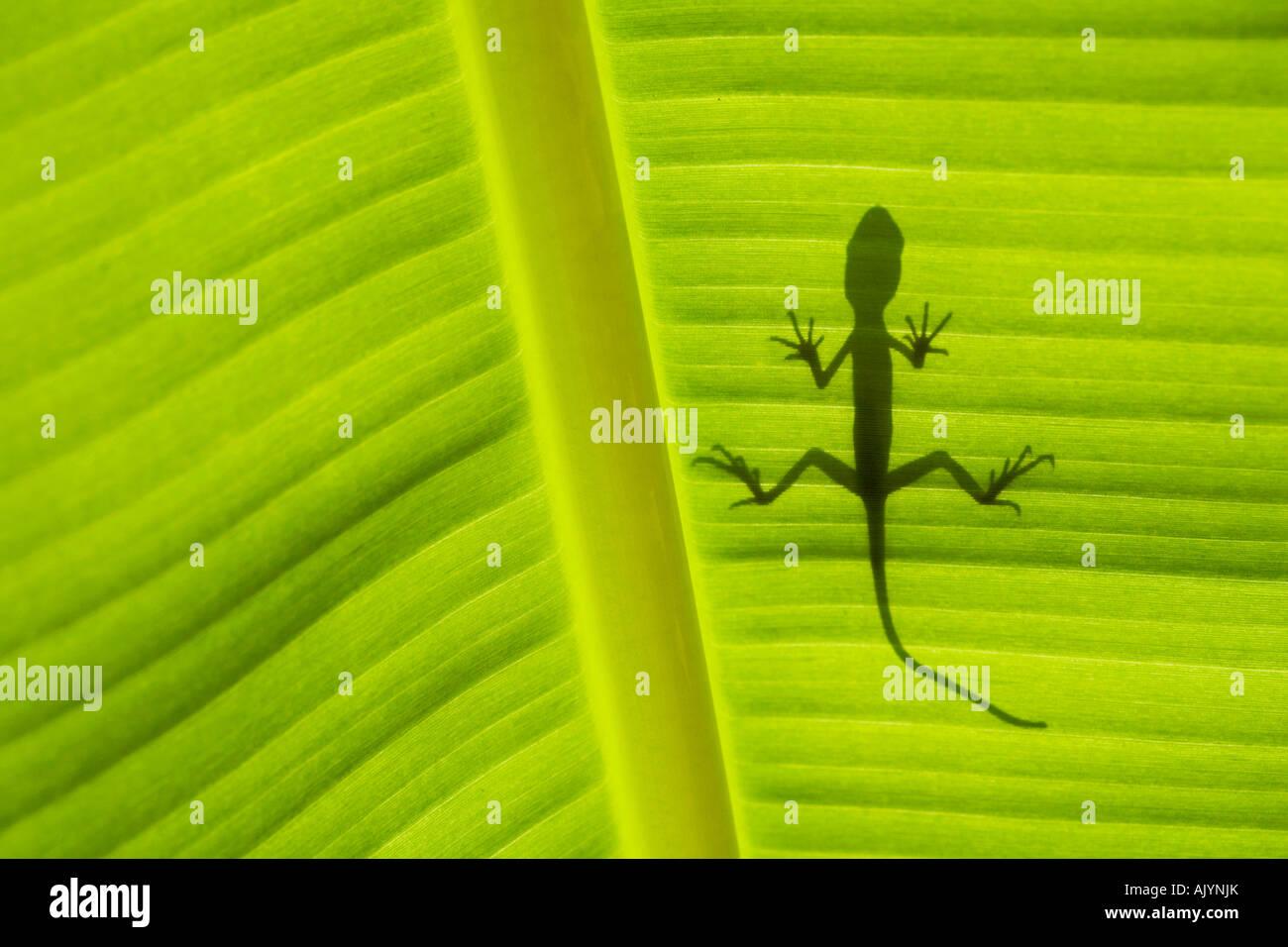 Lizard ombre sur la feuille de banane Photo Stock