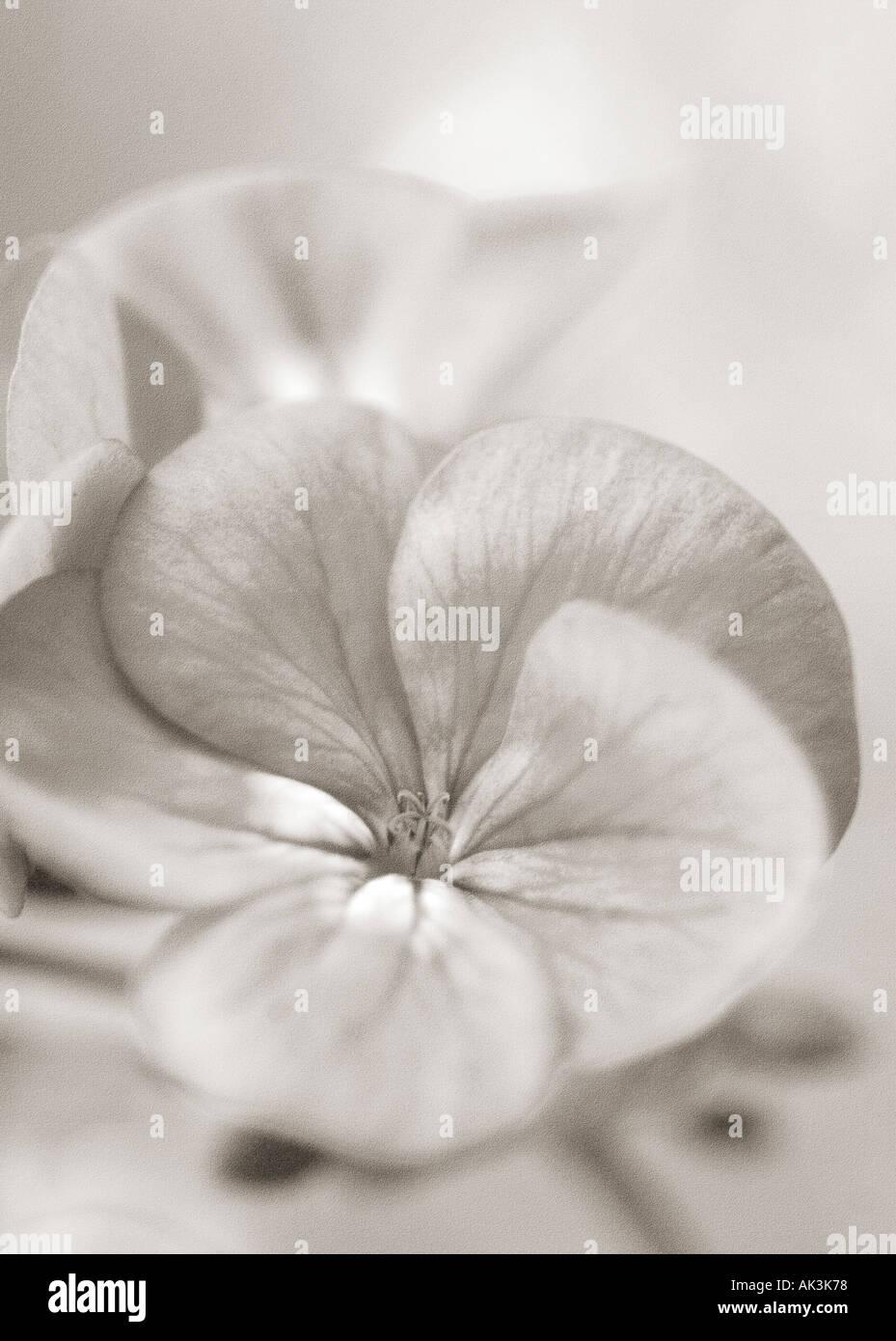Close up of geranium pelargonium fleurs en monochrome Photo Stock