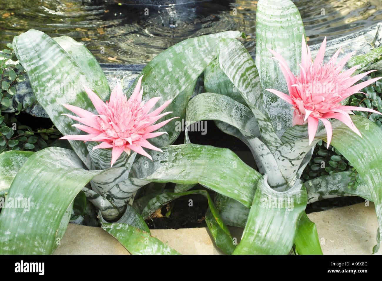 Tillandsia cyanea Rose Plume broméliades Grand diverses Plantes Orchidée Terrarium