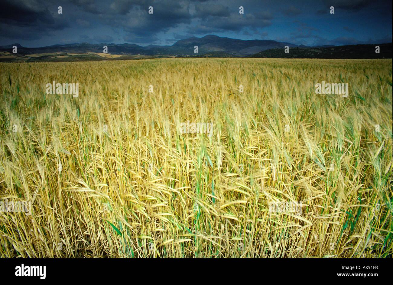 Domaine du blé jaune soir orageux andalousie espagne Photo Stock