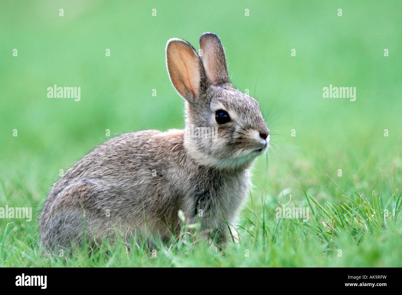 Le Lapin à queue blanche Photo Stock