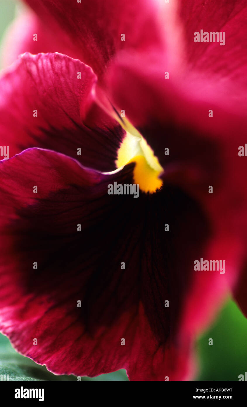 Pansy Viola Ultima Rouge Impression Photo Stock