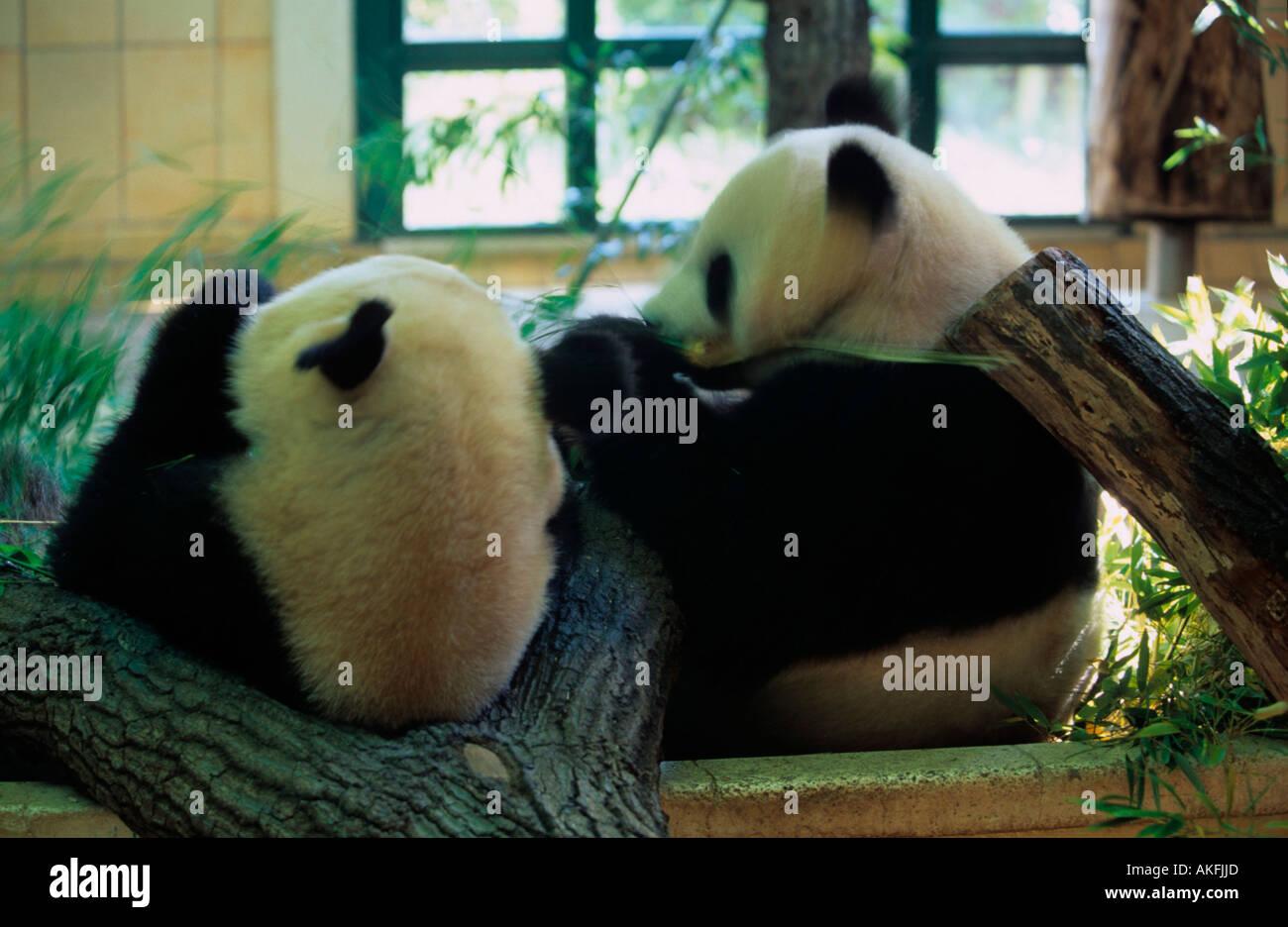 Pandabären im Tiergarten Banque D'Images
