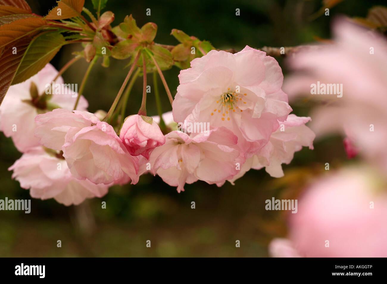une plante Martin 18 janvier trouvée par Ajonc Hokusai-prunus-akggtp