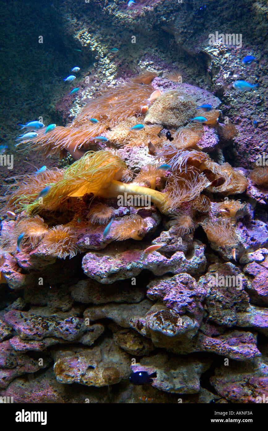 Grande Barrière de Corail l'affichage à l'Aquarium, Darling Harbour, Sydney, New South Wales, Australia Photo Stock