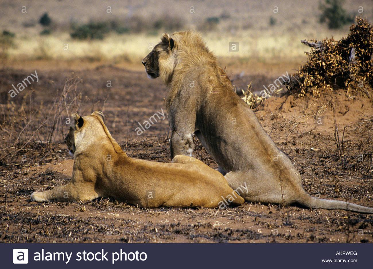 Deux lions Photo Stock
